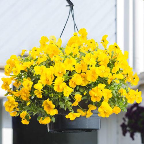 Cool Wave Violen Golden Yellow FleurigBuiten