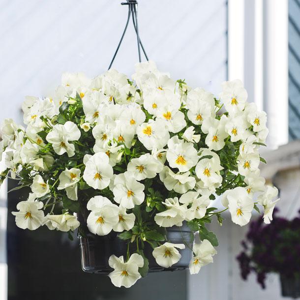 Voorjaarsbloeiers White