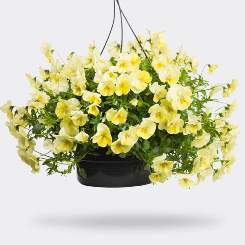 Cool Wave Violen Yellow FleurigBuiten